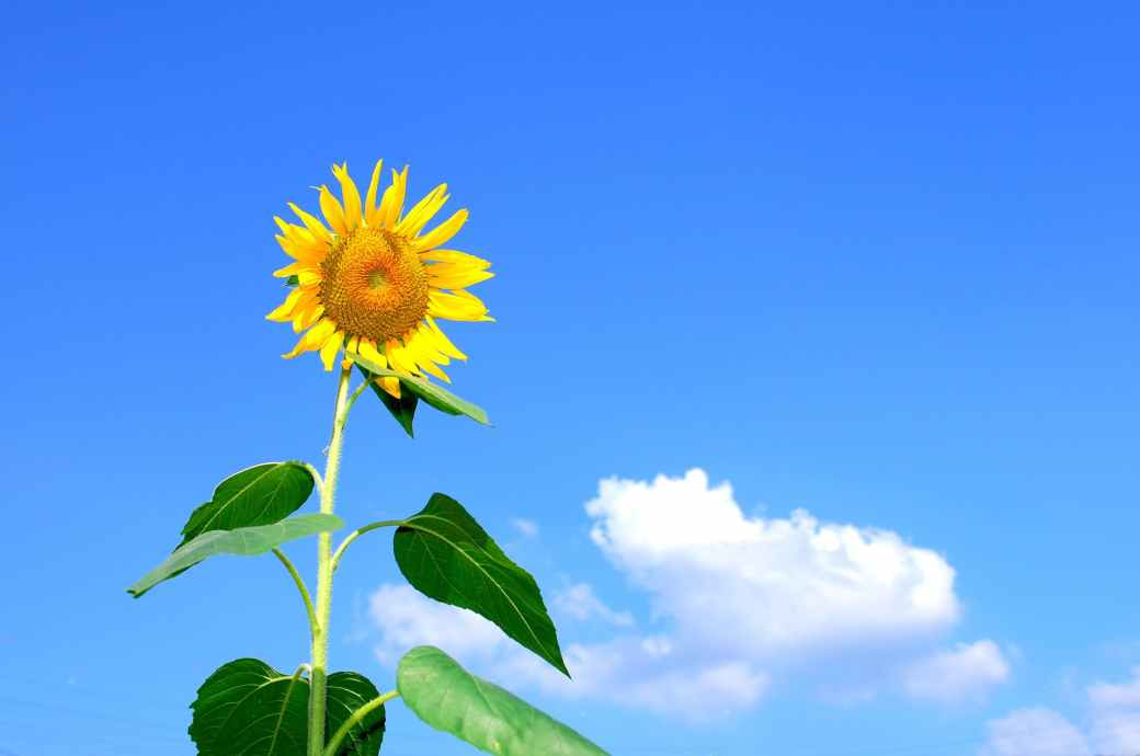 summer-sunflower-flowers-sky-54459.jpeg